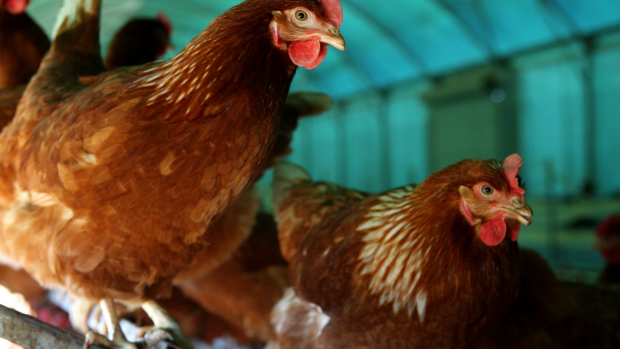 Article image for Animal activists who allegedly stole chickens at Drouin face cruelty charges