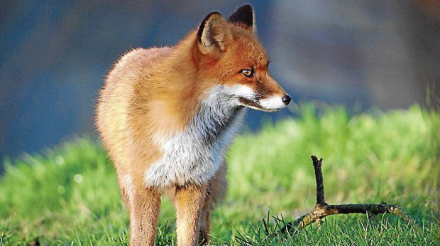 Article image for Residents call for a fox cull, numbers out of control