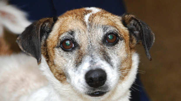Article image for Jaimee Newman tells Tom Elliott that Mimmy the Jack Russell has been found safe and well