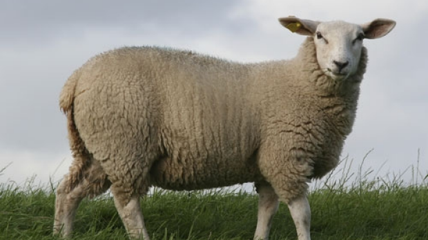 Article image for Victorian wool grower the best in the world