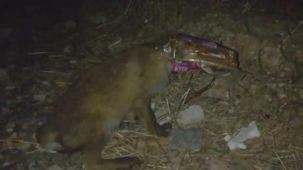 Article image for Curious fox found himself stuck in a plastic bag at Mernda