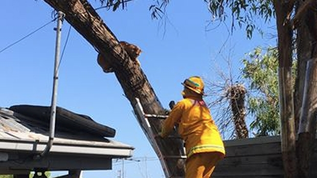Article image for CFA rescue tabby cat from tree at Mt Eliza