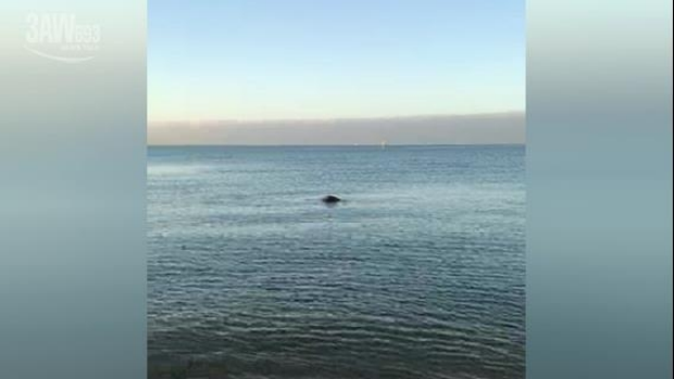 Article image for WATCH: Stingrays spotted at Middle Park Beach