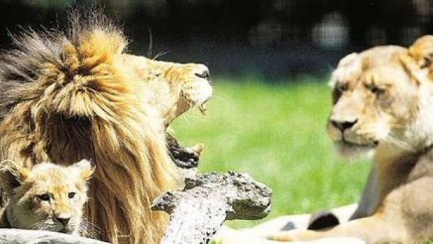 Article image for Melbourne Zoo searching for new lion