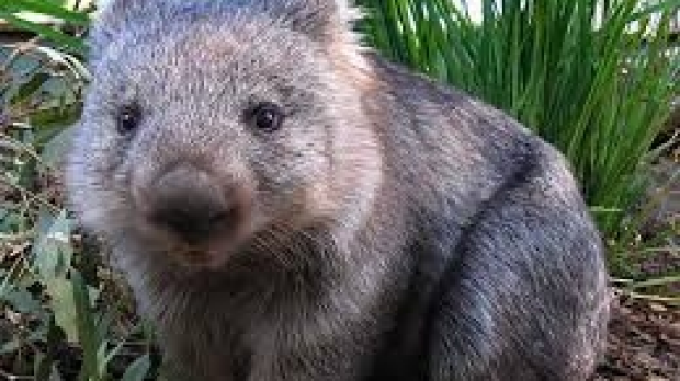 Article image for Wombat changes channel to find 3AW
