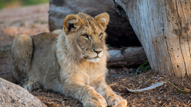 Article image for Melbourne Zoo will soon welcome three new lions