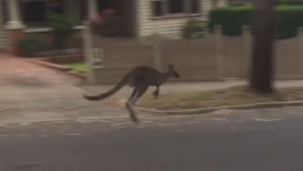 Article image for VIDEO: Kangaroo casually hops around Heidelberg streets