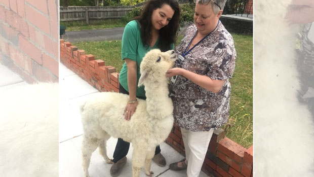 Article image for Neil Mitchell alerted to Alpaca on the loose at Bentleigh!