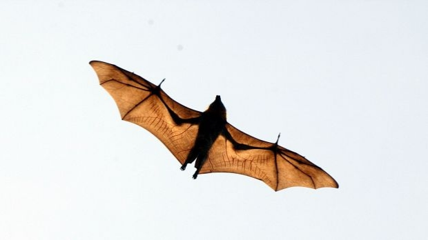 Article image for Backyard fruit tree netting is injuring and killing Melbourne's fruit bats