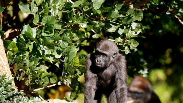 Article image for Gorilla Kanzi celebrates second birthday at the Melbourne Zoo