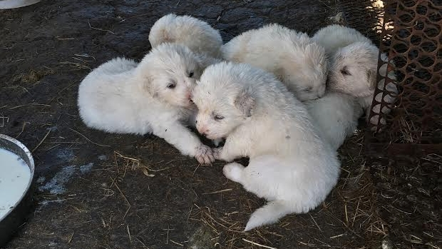 Article image for Five Maremma puppies stolen from Cardinia farm have been found