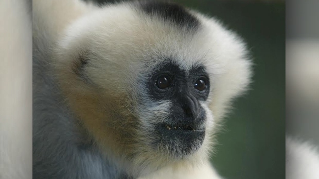 Article image for Melbourne Zoo mourns the loss of Vang the White-cheeked gibbon