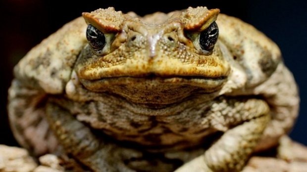 Article image for Former chef believes he has the solution on how to reduce Australia's cane toad population, eat them!