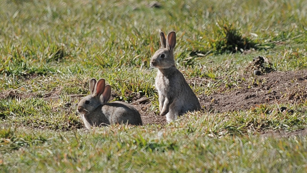 Article image for Pesky wild rabbits running rampant at Werribee Zoo