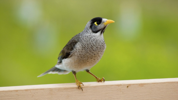 Article image for Cull of native Noisy Miner bird has begun in Victoria and New South Wales