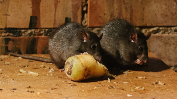 Article image for Predictions of a (disgusting) rat plague in Melbourne