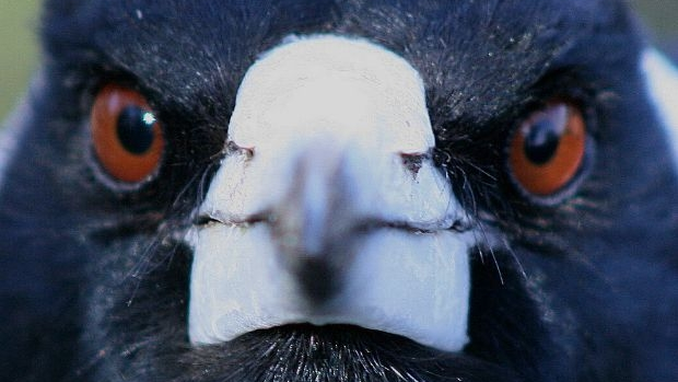 Article image for Study finds magpies swoop certain people