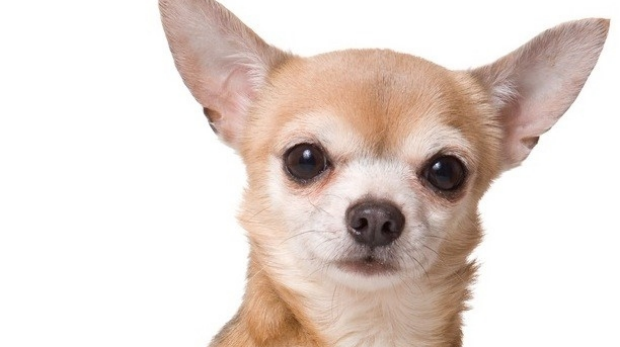 Article image for Chihuahua chases chastened crim from Doveton home