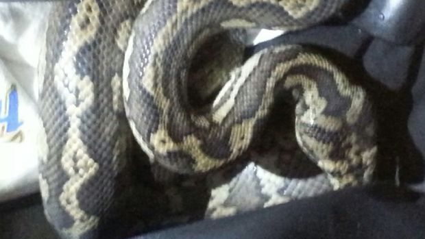 Article image for Police find carpet python in backpack of wanted man in Richmond