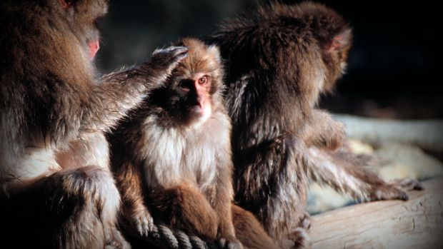 Article image for Australian scientists restart controversial program of importing live monkeys for medical research