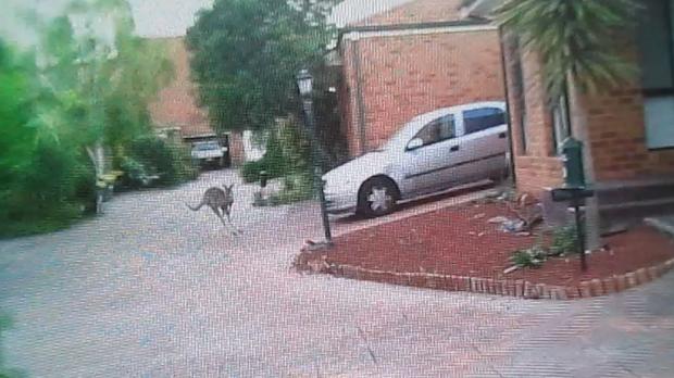 Article image for The Coburg Kangaroo