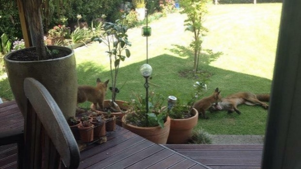 Article image for Family of foxes move into Altona backyard