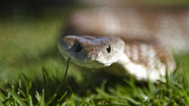 Article image for RUMOUR FILE: Retired Yarram woman becomes snake catcher