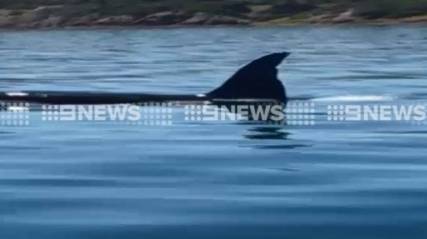 Article image for Killer whales spotted in Port Phillip