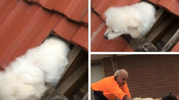 Article image for Lost dog found in roof