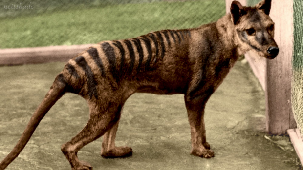 Article image for Tasmanian tiger sighting reported at Venus Bay