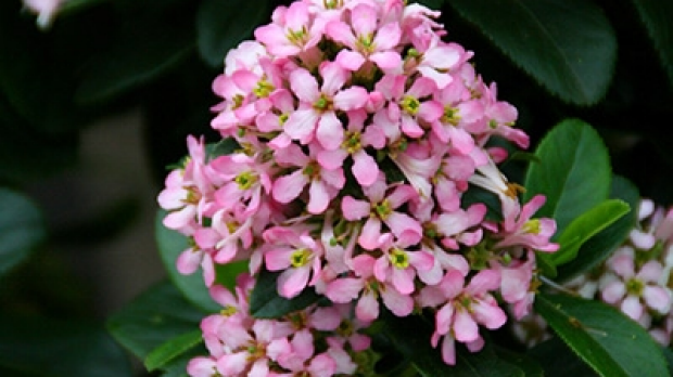 Article image for Jane's plant of the week: Pink Elle