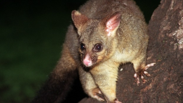 Article image for Would you eat possum meat?
