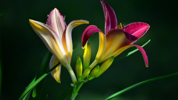 Article image for Jane's Plant of the Week: Day lilies