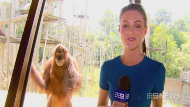 Article image for Video: The Smiling Orangutan
