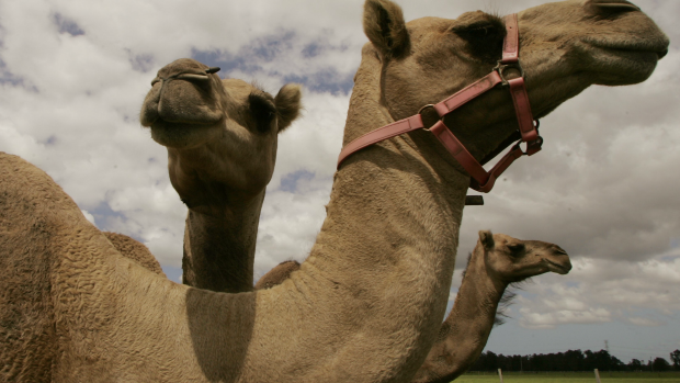 Article image for Tom Elliott learns how to milk a camel