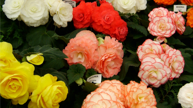 Article image for Problem Solver: begonias and lemons