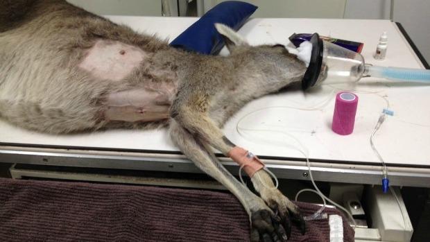 Article image for Kangaroo shot with arrow at Bundoora