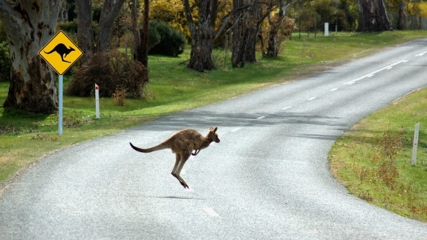 Article image for Urban sprawl to blame for spike motorists colliding with kangaroos