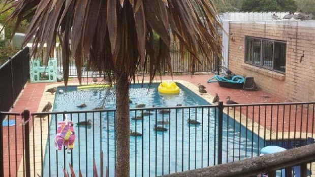 Article image for Residential swimming pool overrun by ducks