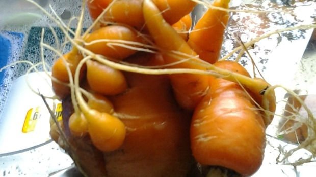 Article image for Show and tell: crazy carrot