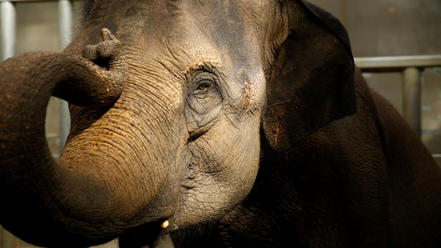 Article image for Melbourne Zoo are on standby for the arrival of their latest Elephant to be born