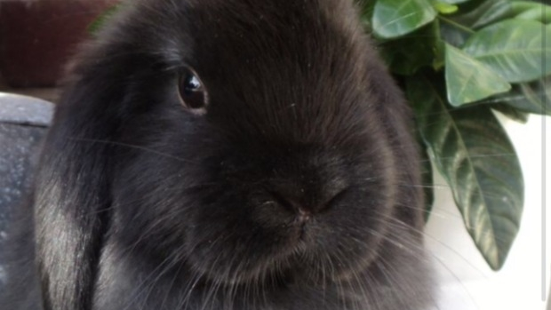 Article image for Good news! Belle's bunny rabbit, Wallace has been found