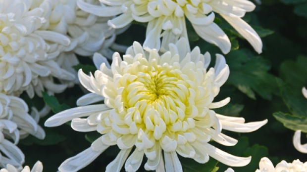 Article image for Jane Edmanson's plant of the week