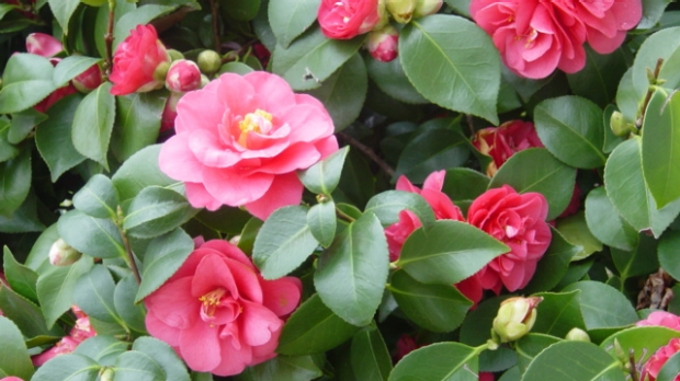Article image for Problem Solver: Camellias