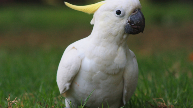 Article image for A Donvale man is under threat from Cockatoo's eating his home