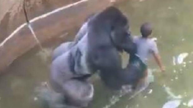 Article image for Animal behaviour expert says Harambe the gorilla would not have hurt child