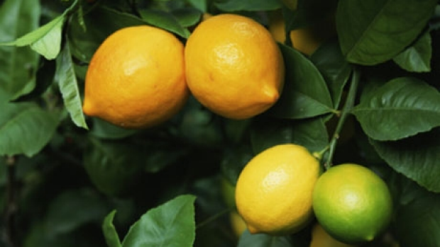 Article image for Time to prune your lemon and lime tree or a wasp will attack as Ross and John found out