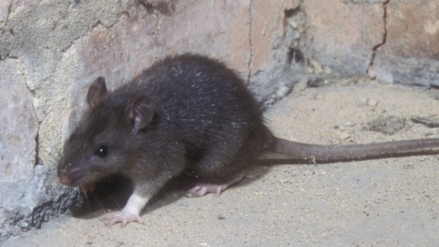 Article image for Victorian motorists left with massive damage bills due to rats eating cars