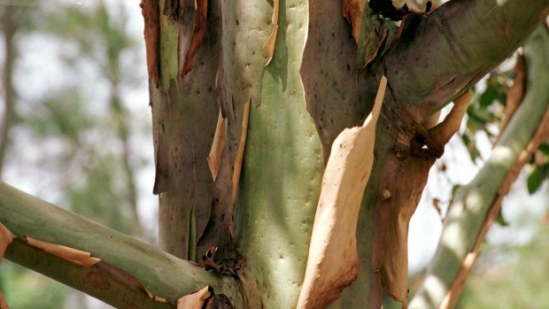 Article image for 'Big enough to kill': Chelsea Heights couple fight to cut down huge gum tree
