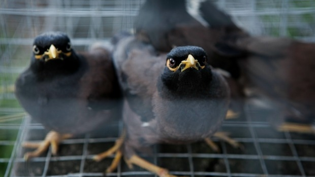 Article image for Banyule Council declares war on 'plagues' of Indian myna birds